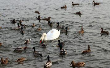 czym karmić kaczki